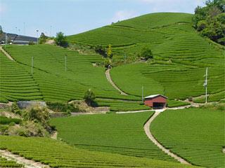和束の茶畑「石寺の茶畑」京都府和束町