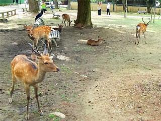 奈良公園「奈良の鹿」奈良県奈良市